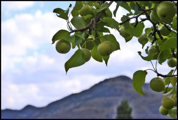 Green Apples II