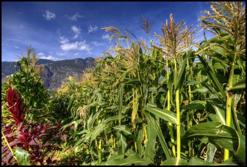 Amaranthus Crashing a Corn Party