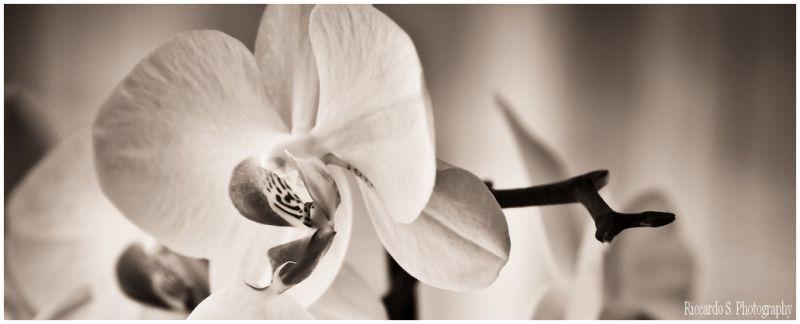 Orchidea in chiaro scuro