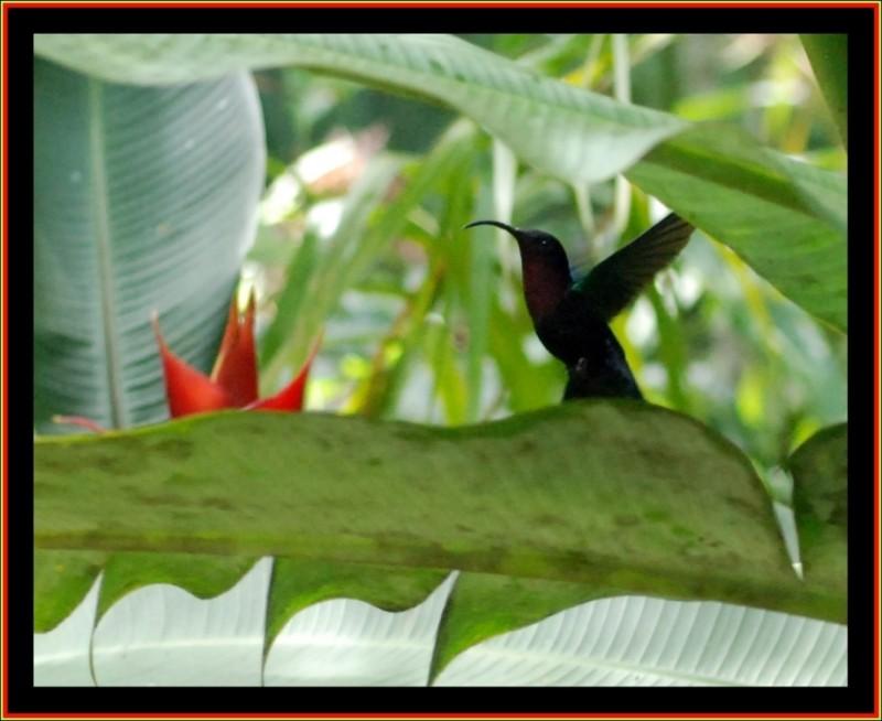 humming bird - Dominica