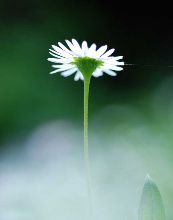 airy daisy