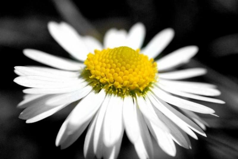 daisy macro flower