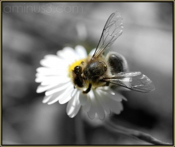 bee black and white flower macro