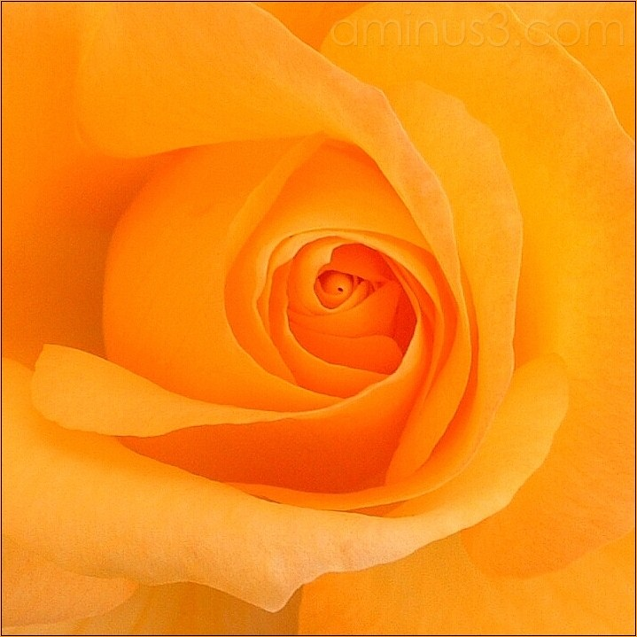 macro rose yellow