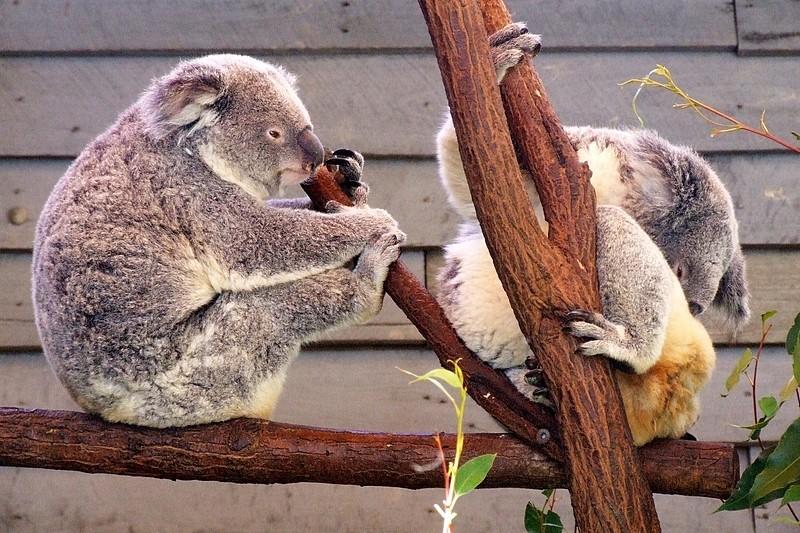 2 koalas