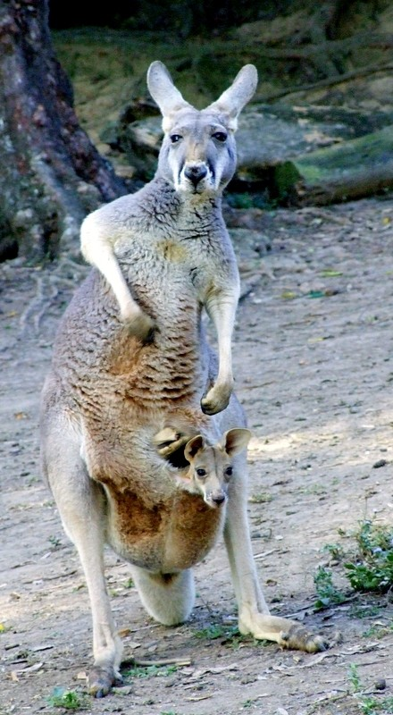 mama kangaroo and joey