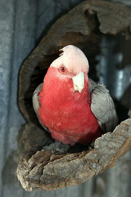 pink galah