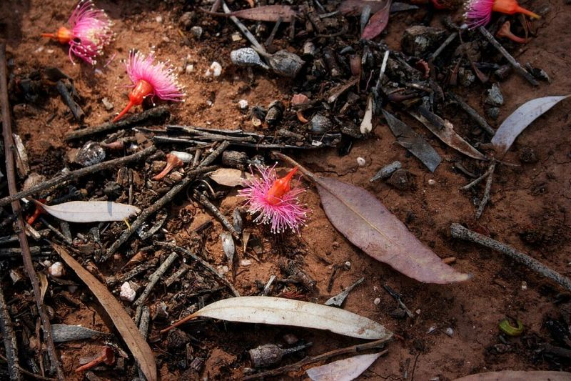 gum tree blossoms