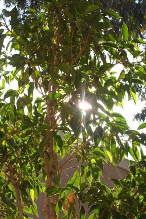 sunlight thru ficus