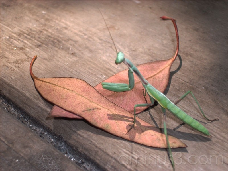 Mantis on my balcony