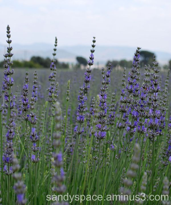 lavender in Cherry Valley