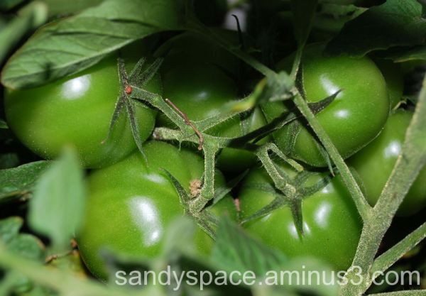 Green tomatoes...not fried...yet