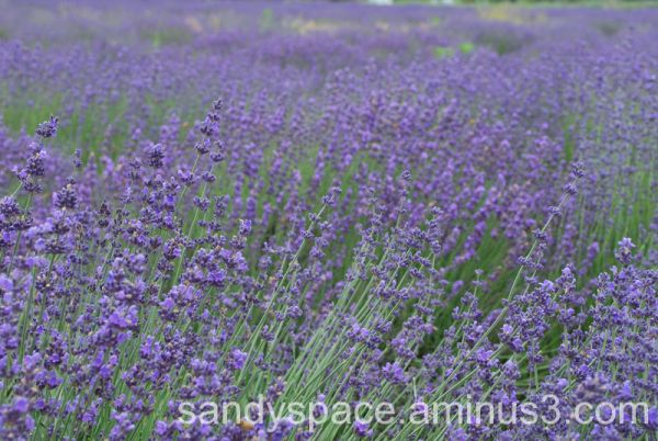 Lavender blowin in the wind