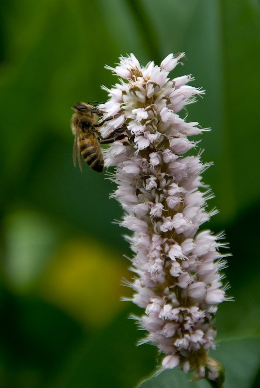 bee hard at work on flower