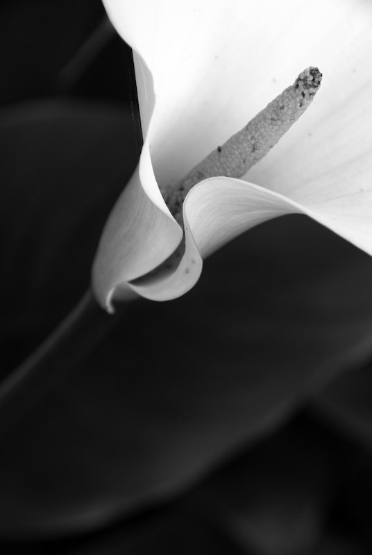 cala lily in black and white