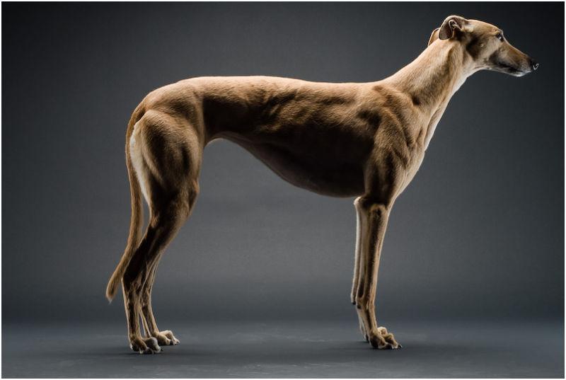 kelly dog greyhound