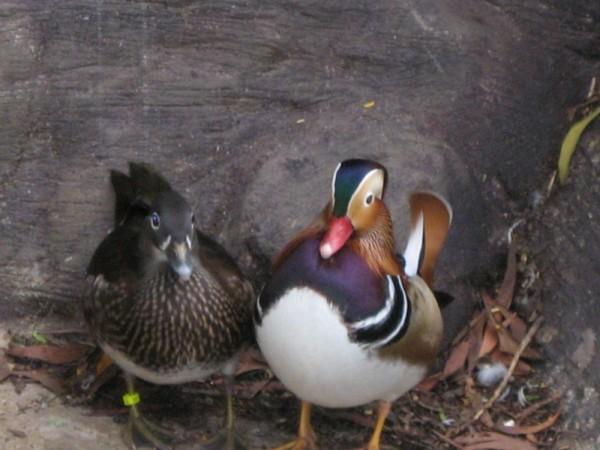 mandarin duck 鸳鸯