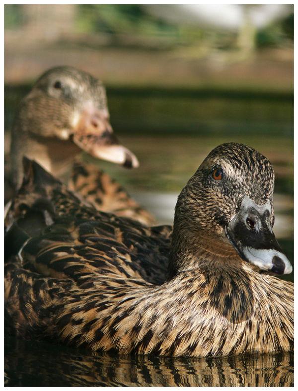The Vain Duck