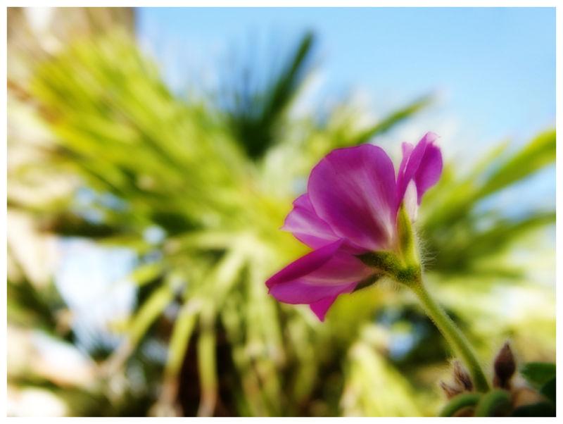 Cheerful Geranium