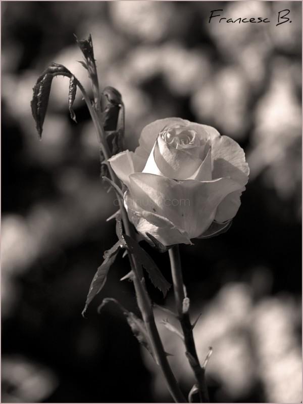 Une rose pour Dan(ièle)