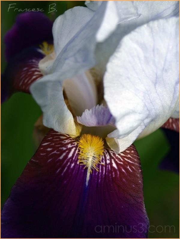 Un autre iris