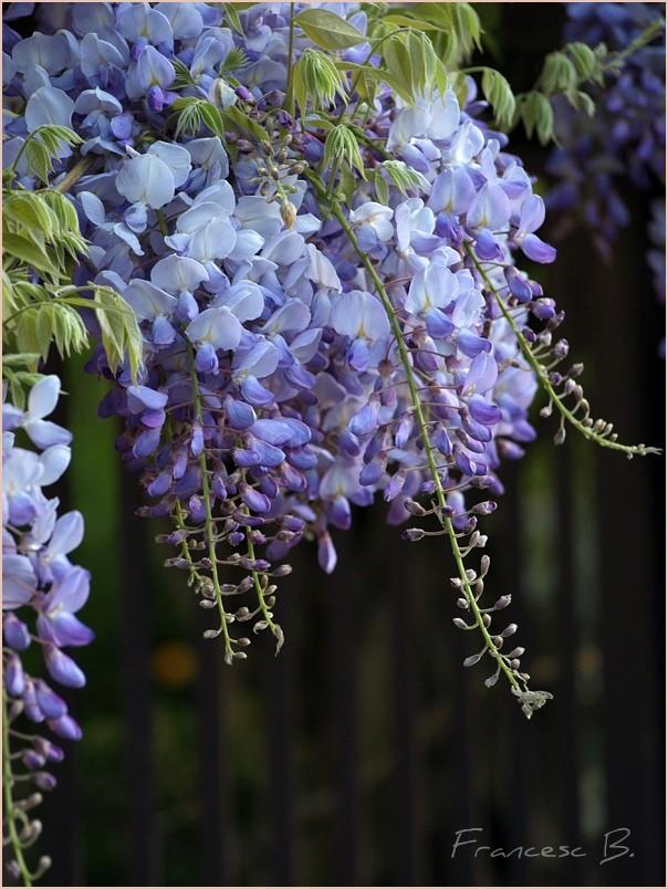 Glycine violette