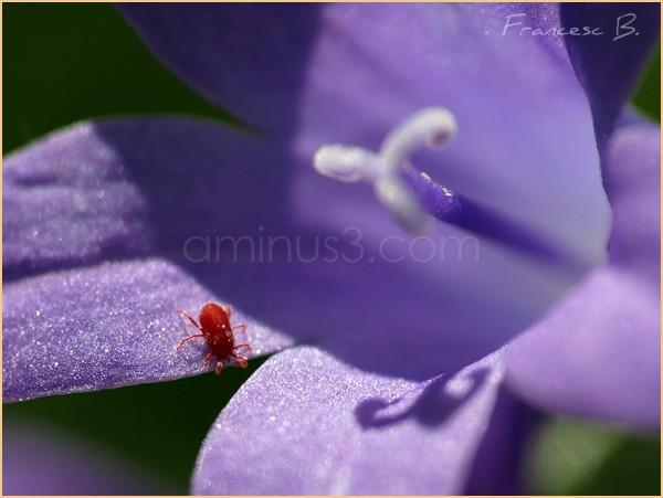 L'aoûtat (Trombicula autumnalis)