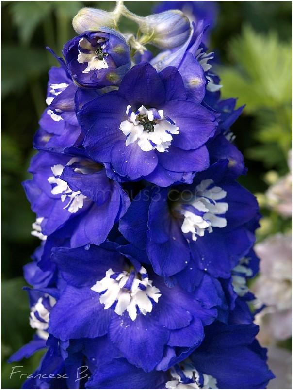 Bleu en hampe florale