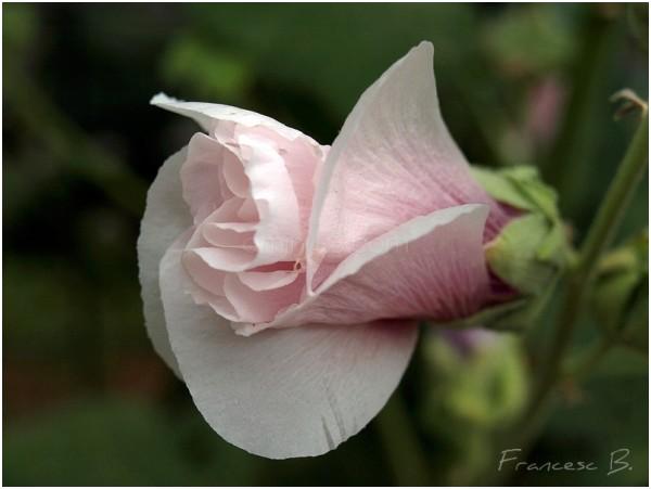 Bouton de rose trémière