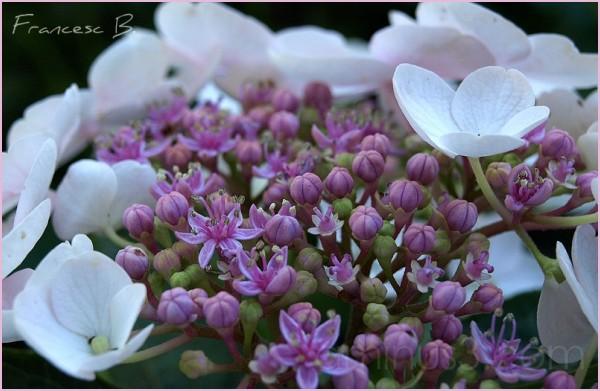 Hortensia blanc (détail)