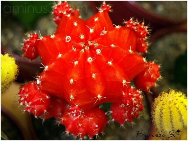 Cactus fantaisie