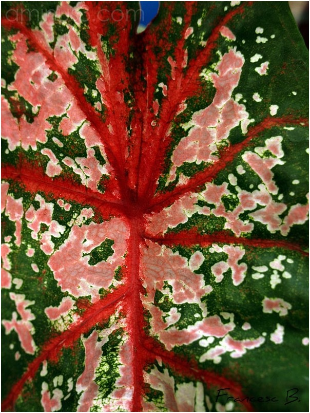 Feuille de Caladium