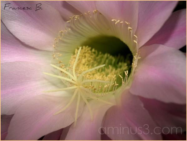 Fleur d'Echinopsis - 5