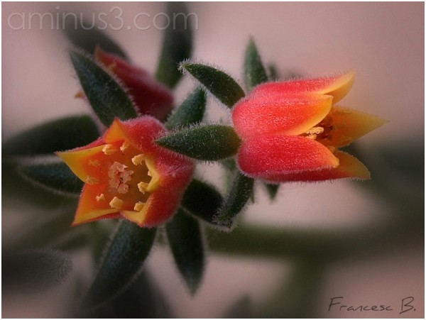 Echeveria pilosa (fleurs)