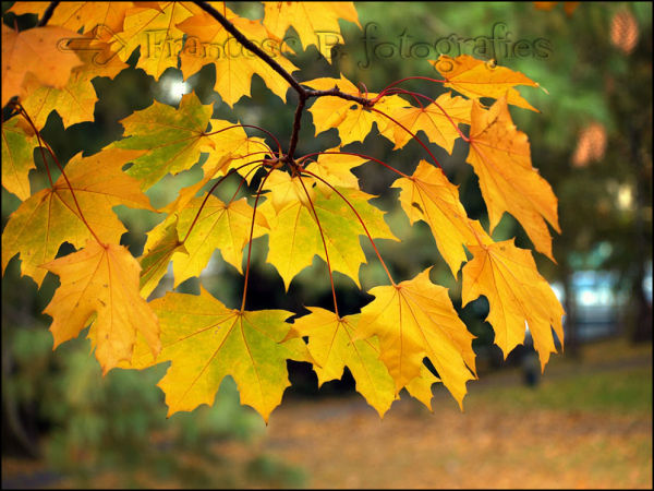 Les dernières feuilles...