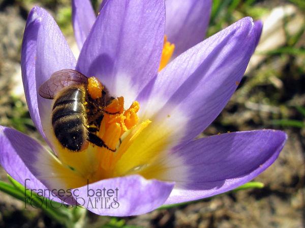 Première abeille