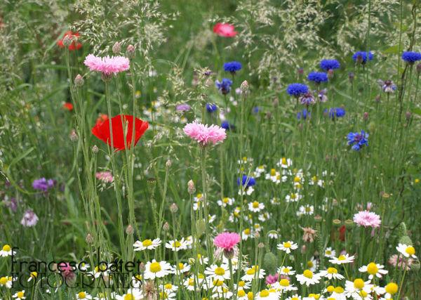 Fleurs des champs (en ville)