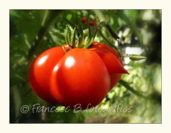 Le zizi de la tomate