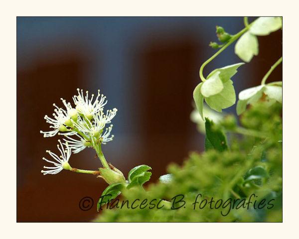 Hydrangea petiolaris - 2