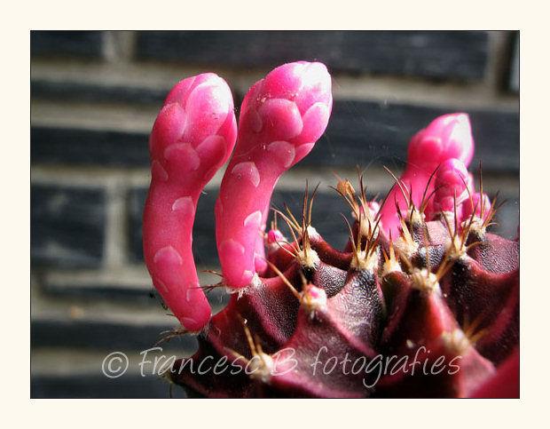 Cactus (presque) en fleurs
