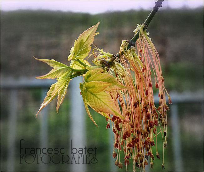 Acer negundo 'Aureomarginatum' (fleurs)