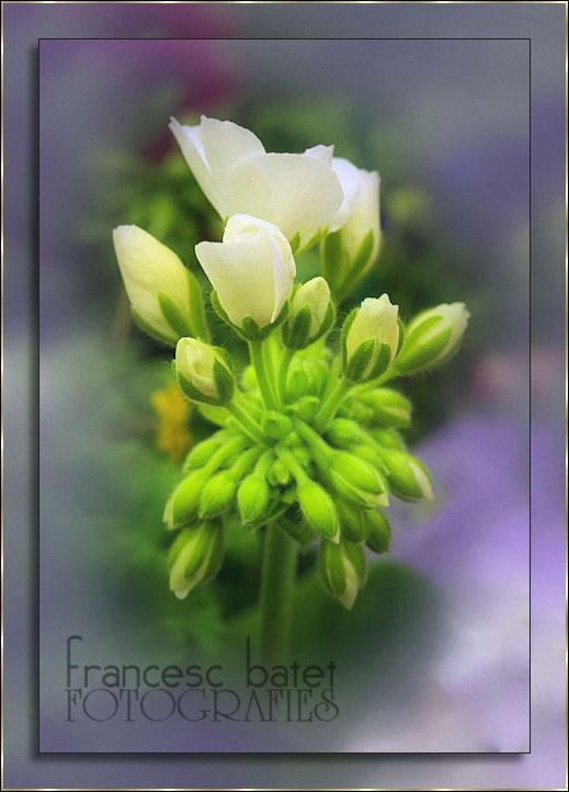 Geranium blanc