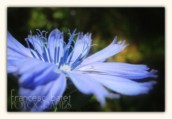 Fleur de chicorée sauvage