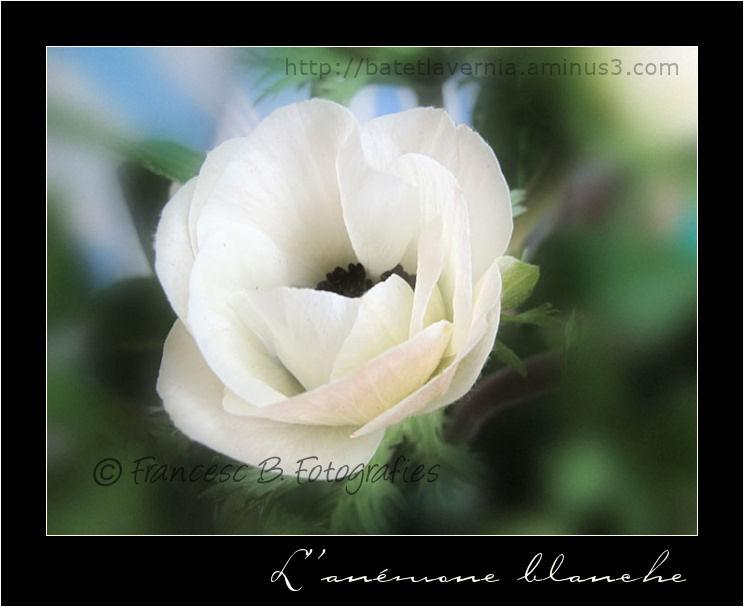 L'anémone blanche...