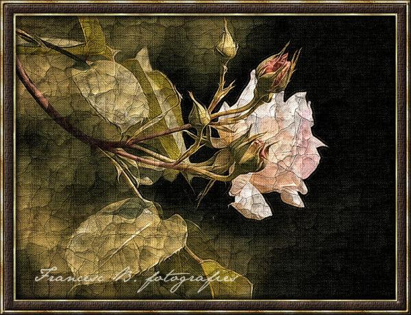 Vieille rose