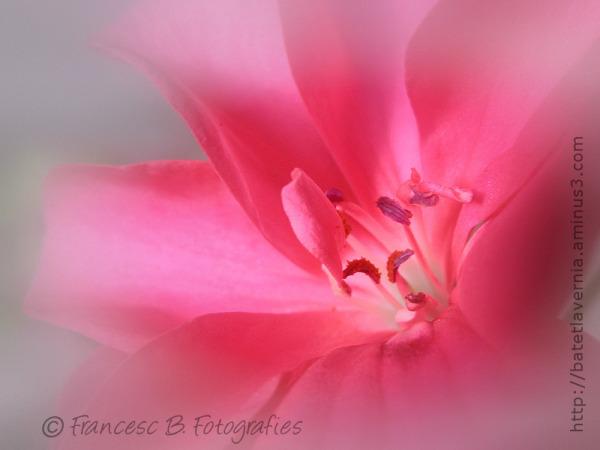 Douceur rose