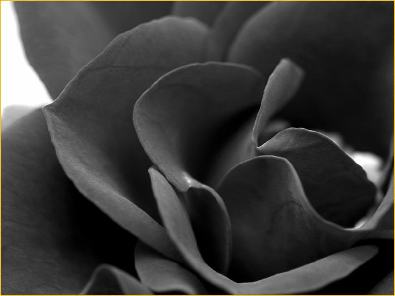 valenttin rose red black trandafir rosu noir