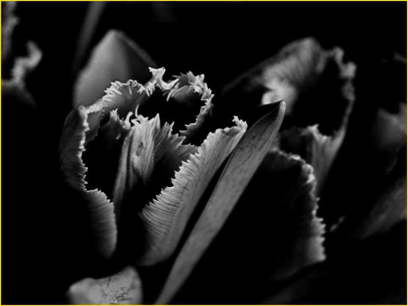 pink tulip (composition in black and black)