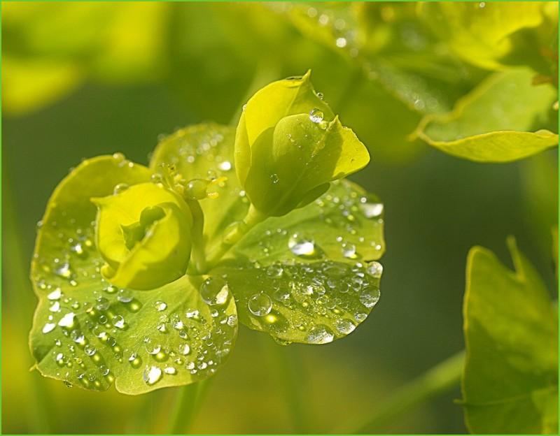 dawn green