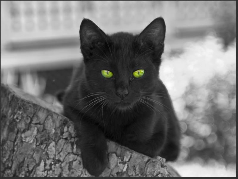 valenttin pisica neagra chat noir black cat